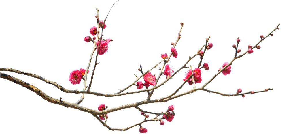 This image has an empty alt attribute; its file name is Plum-Blossom-iStock-910737008-1-BEFORE-1-1024x485.jpg